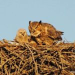 Great horned owls nesting