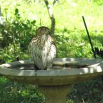Hawk in bird bath