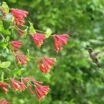 Hummingbird on coral honeysuckle