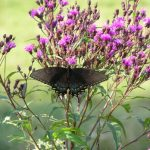 Black tiger female swallowtail on ironweed
