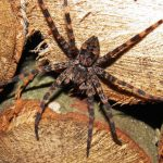 Dark fishing spider