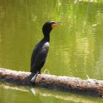 Cormorant on basking log in Vernas pond