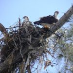 Osprey nest in Casuarina on Palm Island