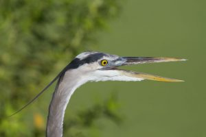 Furner - Great Blue Heron