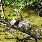 Anhinga in Lemon Creek at Wildflower