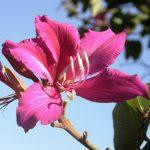 Bauhinia blakeana orchid tree