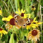 Common buckeye on blackeyed susan