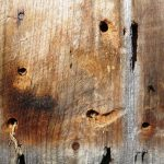 Multiple carpenter bee holes in plank