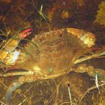 Blue crab in pond