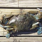 Male blue crab dorsal