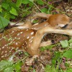 Newborn deer fawn