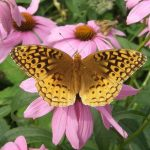 Great spangled fritillary on echinacea