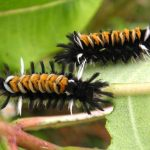 Milkweed Tussock Caterpillars on Common Milkweed