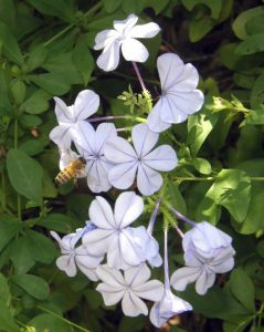 The honey bee on the plumbago