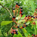 Sassafras fruits