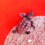 Loggerhead Sea Turtle Hatchling on Palm Island