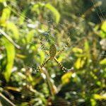 Spider banded garden orbweaver spider