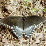 Male Swallowtail spicebush