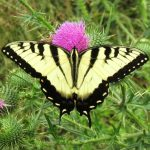 Tiger Swallowtail male on thistle