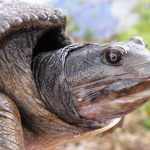 Soft shell male turtle