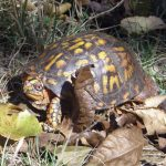 Box turtle male