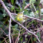 Cape May Warbler male