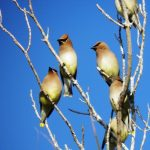 Waxwings in yard fig tree