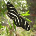 Zebra butterfly nectars on Florida privet