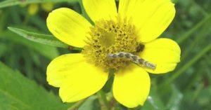 Pug caterpillar on bur marigold