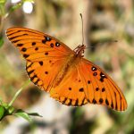 Gulf fritillary on Spanish needles