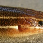 Southeastern five-lined skink closeup