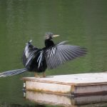 An anhinga dries its wings while resting on a raft at Wildflower Preserve