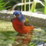 Painted bunting male in backyard water bath