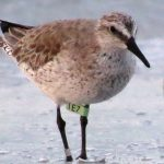 Red knot 1E7