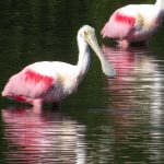 A roseate spoonbill at Lemon Lake shows colors derived from its food