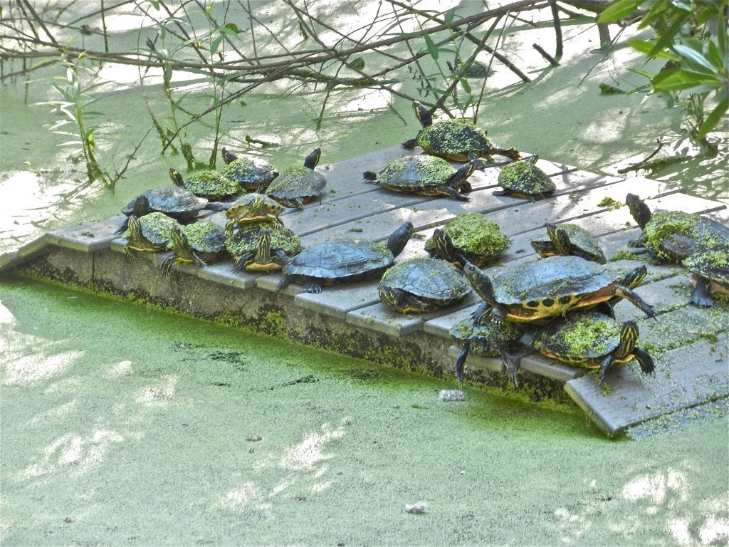 Numerous turtles are enjoying this raft at Busch Wildlife Sanctuary