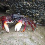 A mangrove root crab
