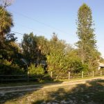 A tall Norfolk Island towers over my yard on Manasota Key