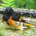 This adult male redstart is taking a bath in our yard