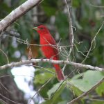 A male summer tanager