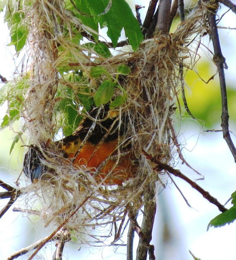 The Remarkable Oriole Nest Lemon Bay Conservancy