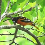 A spectacular male Baltimore oriole