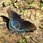 A red spotted purple that mimics  the toxic pipevine swallowtail