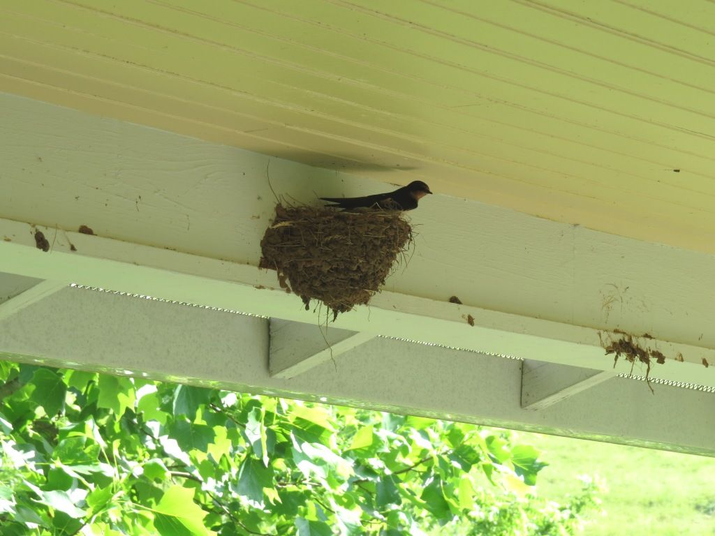 The Remarkable Nest of Barn Swallows - Lemon Bay Conservancy