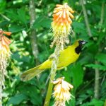 A juvenile male orchard oriole visits a red hot poker for nectar