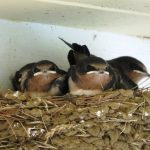 Baby barn swallows in the nest have a problem in disposing of their wastes