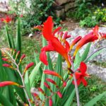 The crocosmia flower has a curved corolla tube