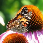 This painted lady has smaller eye spots on its hind wing than the very similar American lady