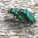 A pair of  mating six spotted tiger beetles