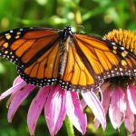 A male monarch gathers nectar from a purple coneflower